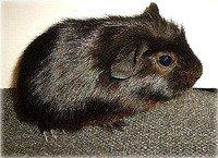 Морська свинка Англійська крестед - енциклопедія тварин