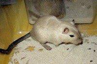 Мишка-піщанка - енциклопедія тварин