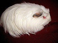 Морська свинка Довгошерстий шелті - енциклопедія тварин