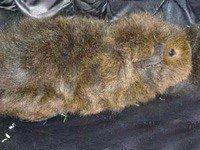 Морська свинка Сомалі - енциклопедія тварин