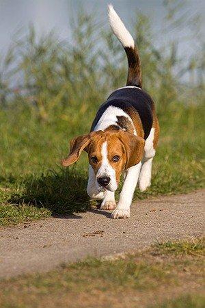 Бигль - охотничья собака