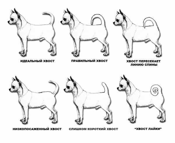Видимо, из-за низкопосаженный хвост у собаки фото измельчители