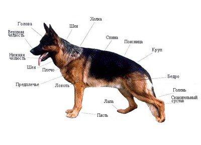 Хаски собаки рисунки