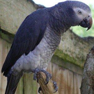 попугай жако бурохвостый