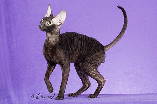 Самая популярная порода кошек № 3