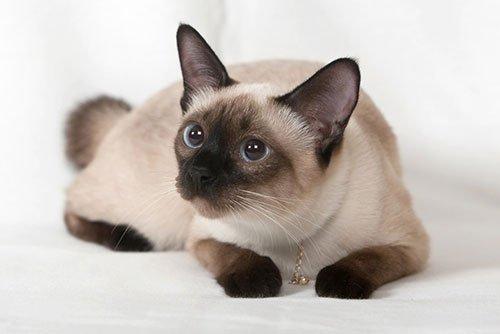 Самая популярная порода кошек № 10