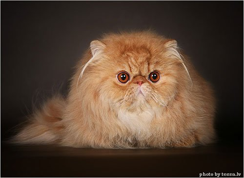 Самая популярная порода кошек № 5
