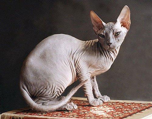 Самые популярные породы кошек фото 1