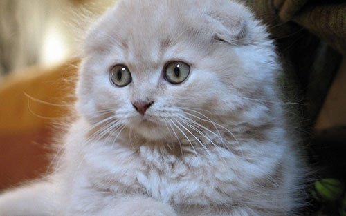 Самая популярная порода кошек № 7