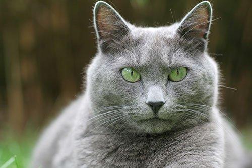Самая популярная порода кошек № 1