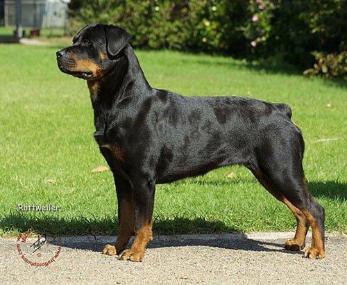 Популярные породы собак ротвейлер