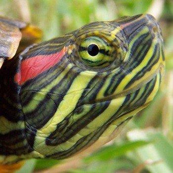 Черепахи как вы черепахи купить