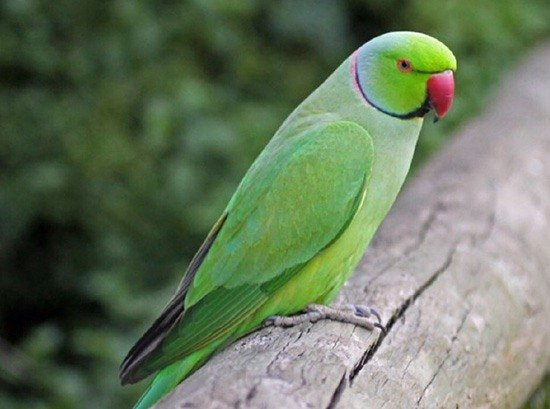 Ожереловый папуга - енциклопедія тварин