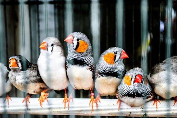 Зебровая амадина - певчая птица: фото, содержание и уход