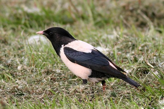 Скворец-перелетная певчая птица: фото, описание, содержание в неволе