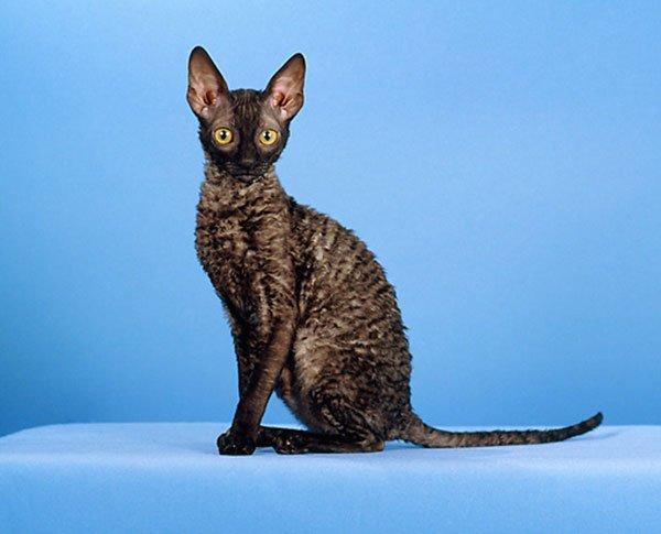 Корниш-рекс (порода кошек): фото, описание породы, питомники: http://pitomec.ru/kinds/main/cats/korotkosherstnye/kornish-reks