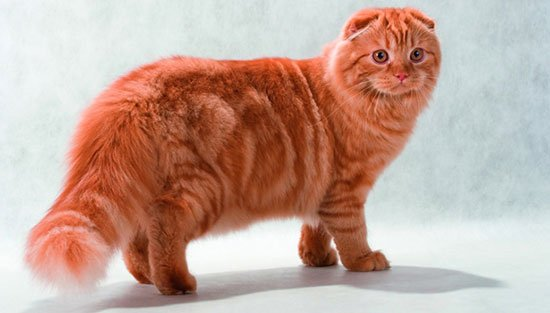 Порода шотландская вислоухая длинношерстная кошка (хайленд фолд) фото 1