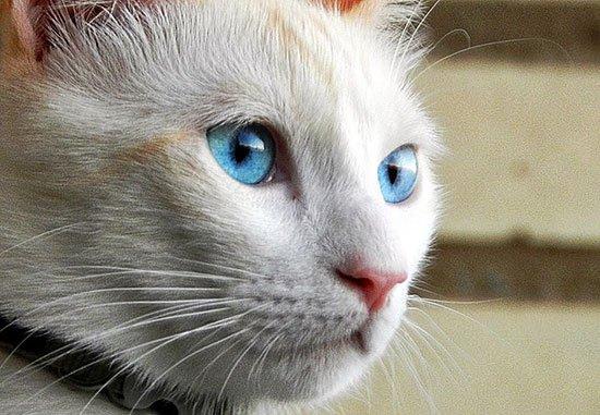 Порода кошек Охос Азулес (Ojos azules): фото и описание породы