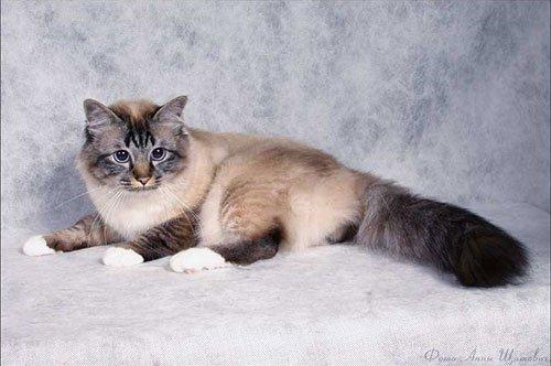 Священна бірманська кішка (священна бірма) - енциклопедія тварин