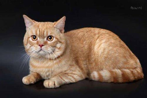 шотландский рыжий кот прямоухий фото