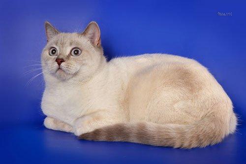 Шотландская гладкошерстная коты
