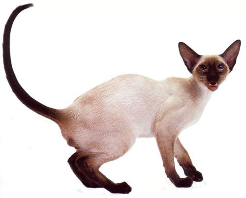 Сіамська кішка - енциклопедія тварин