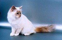 Бірманська кішка - енциклопедія тварин