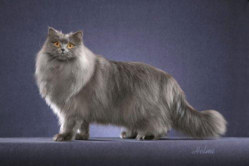Порода длинношерстных британских котов