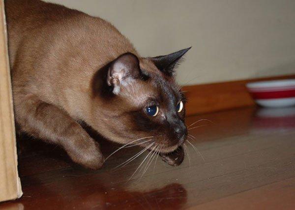 Бурманская кот цена