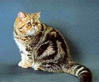 Екзотична короткошерста кішка - енциклопедія тварин