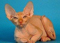 Сфінкс (Канадський сфінкс) - енциклопедія тварин