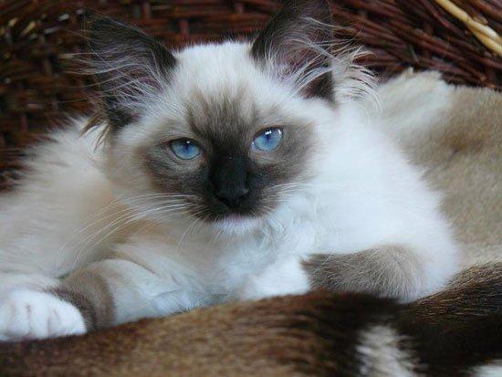кошка фото невская