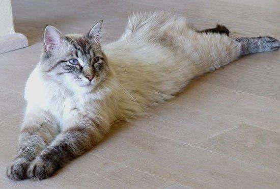 Купить кота невской маскарадной