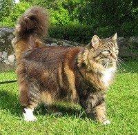 Норвезька лісова кішка - енциклопедія тварин