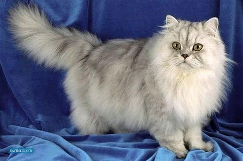 Порода персидские коты
