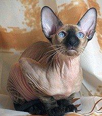 Петербургская лысая кошка)