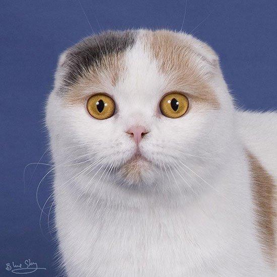 шотландская вислоухая кошка фото 5