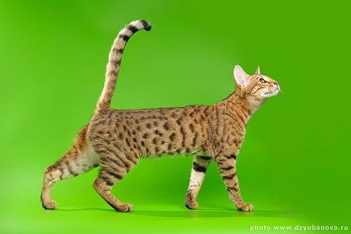 Серенгети (порода кошек): фото, описание, интересные факты, где купить
