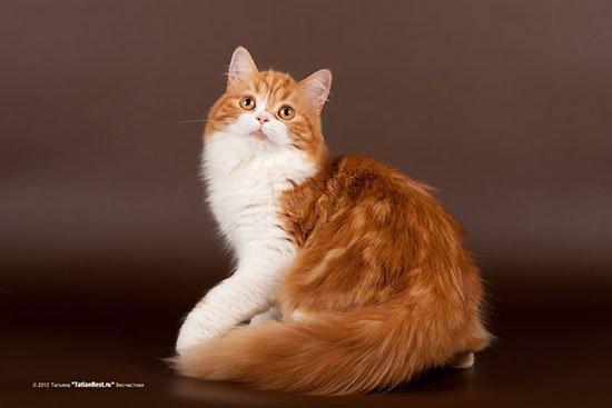 Шотландська довгошерста кішка (Хайленд-страйт) - енциклопедія тварин