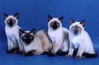 Тайська кішка - енциклопедія тварин