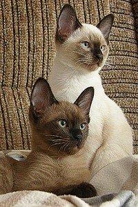 Тонкинська кішка - енциклопедія тварин