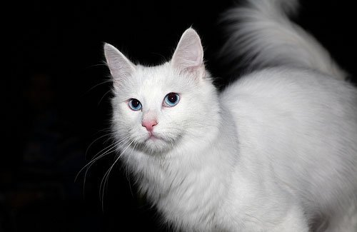 турецкая ангора фото, турецкая ангора фото кошки