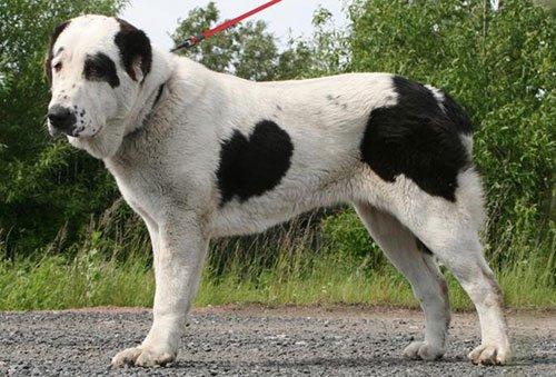собака алабай фото и цена