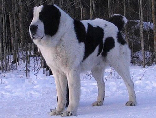 Алабай собака