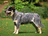 Австралийская пастушья собака