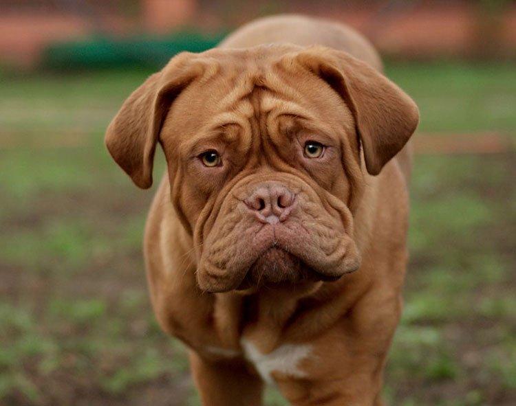 Бордоский дог особенности суставов квадратый сустав у собаки