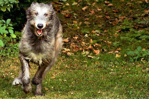 Ирландский волкодав фото 5