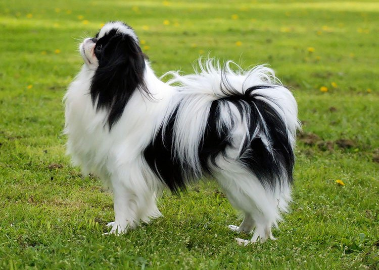 https://www.pitomec.ru/upload/admin/images/kinds/dogs/Japanese-Chin-4.jpg
