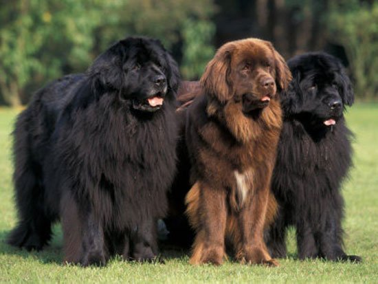 http://www.pitomec.ru/upload/admin/images/kinds/dogs/Newfoundland-7.jpg