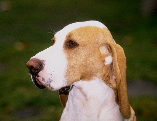 Охотничья собака Испанская гончая или Сабуэсо эспаньол: описание породы с фото